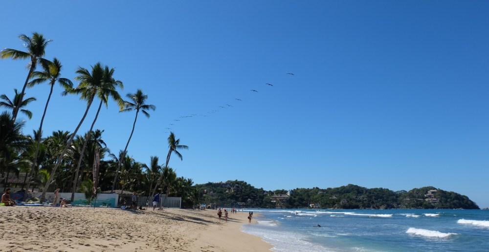 A flock of pelicans over Sayulita
