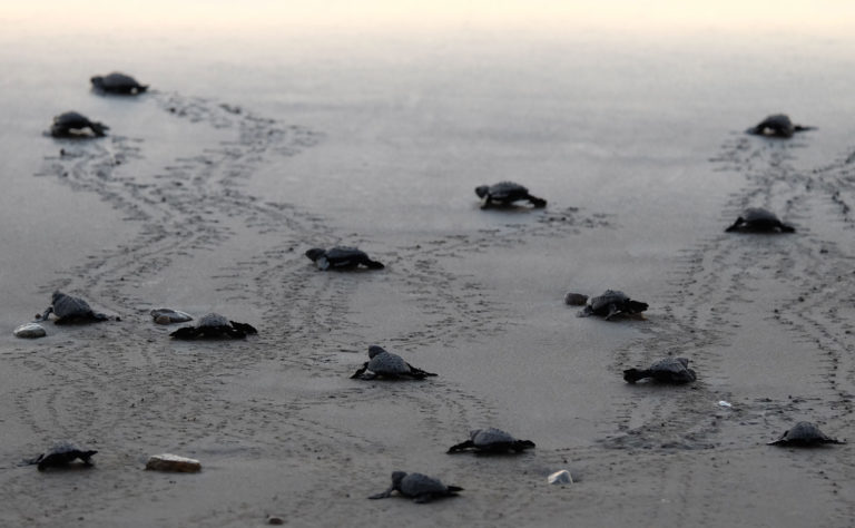 Baby turtles heading for the sea