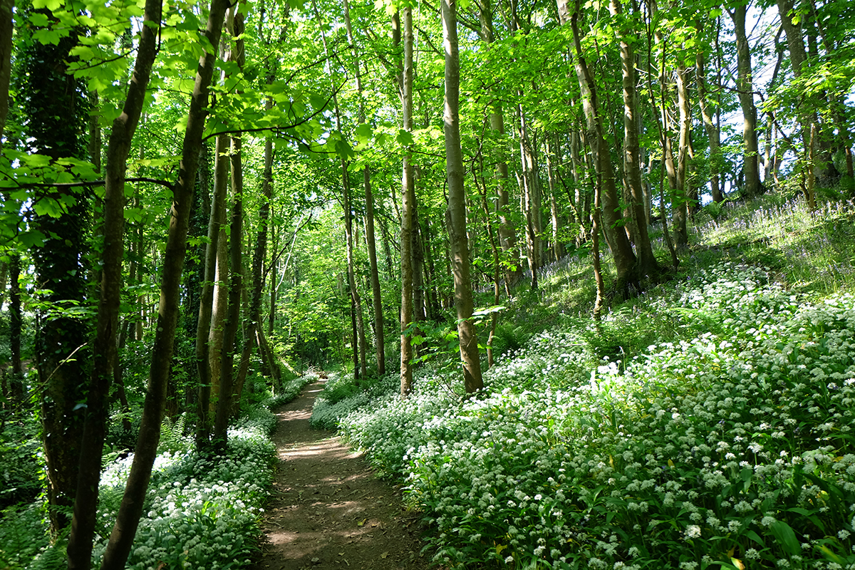 The path to the beach and St Ninian's Cave, lined with wild garlic