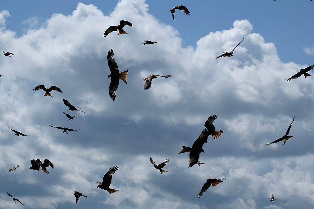 Red kites circling above the feeding station