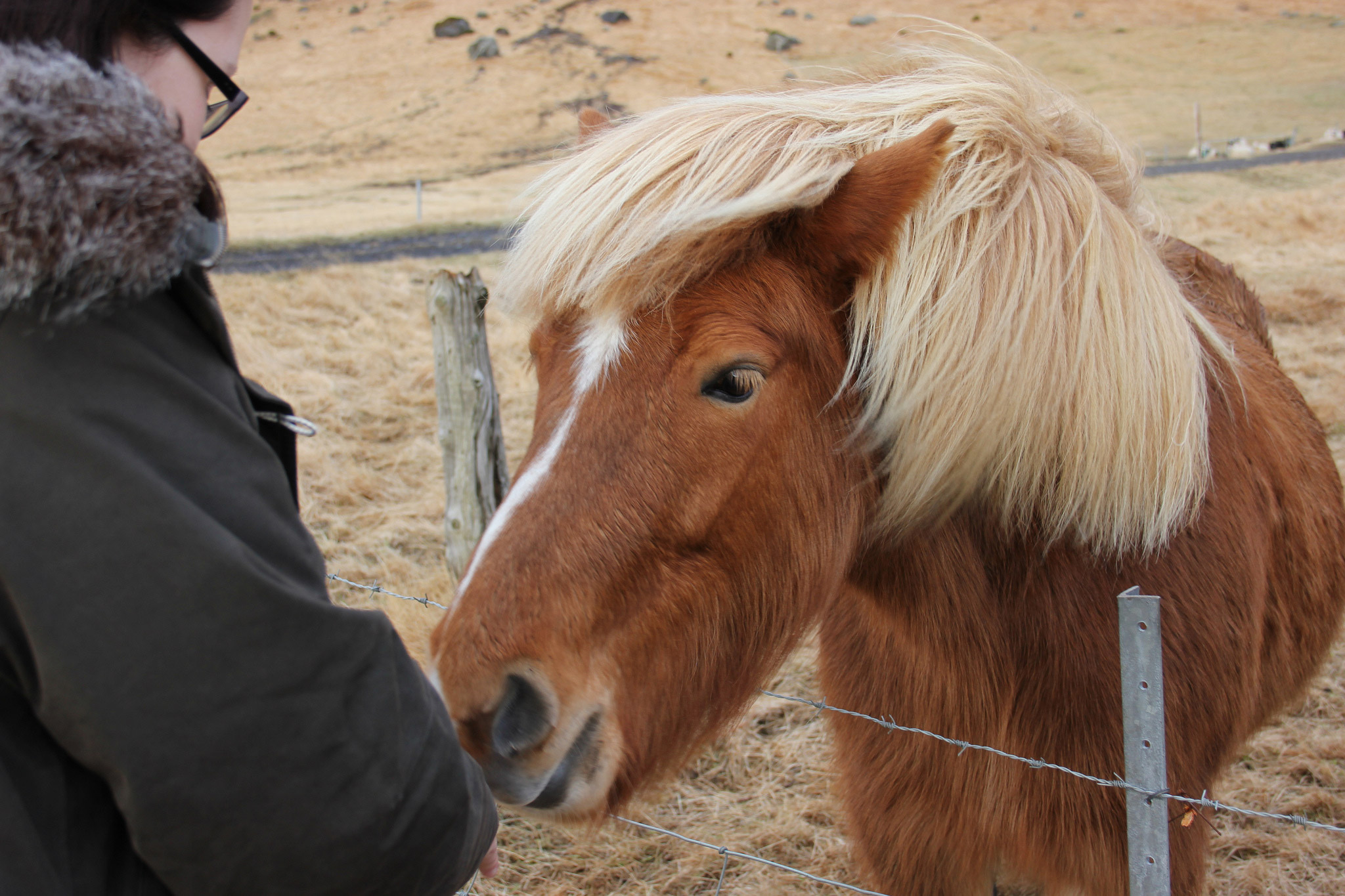 Meeting an Icelandic horse