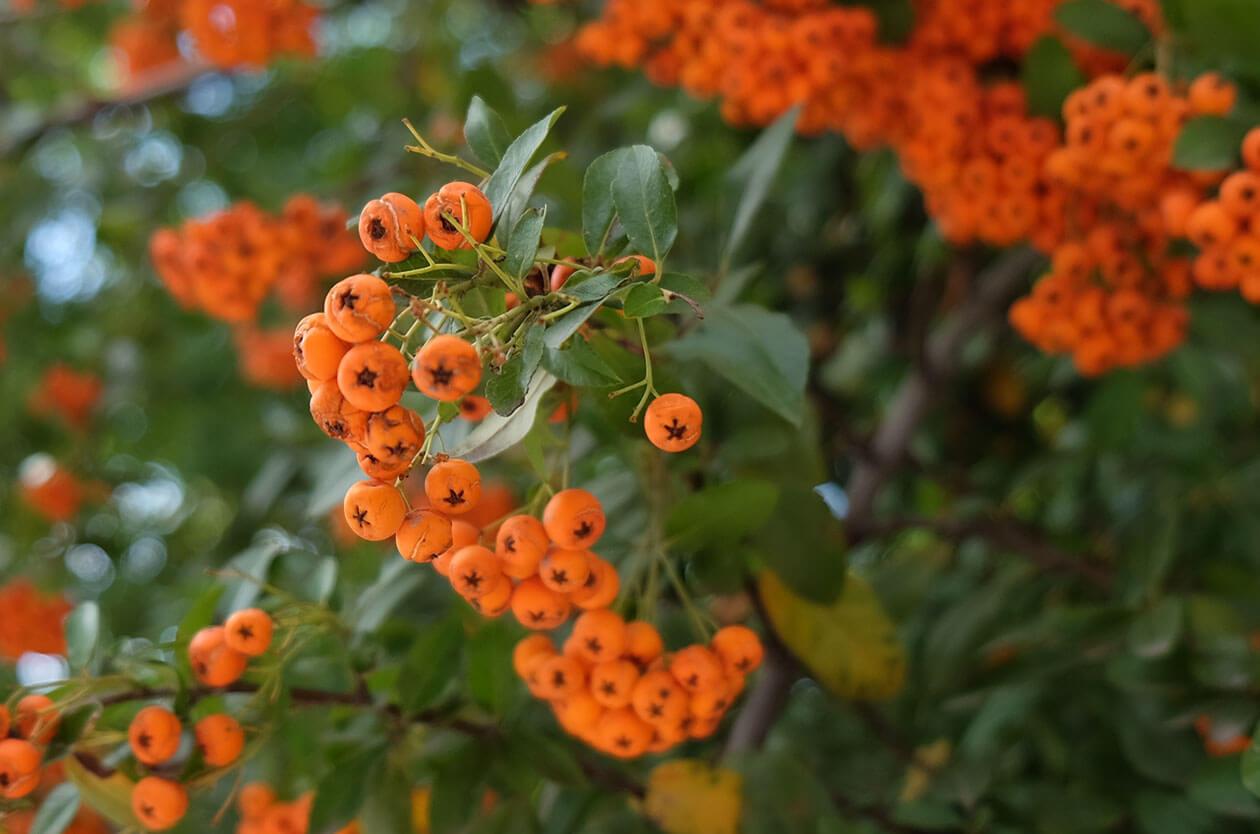 Gorgeous Autumn berries outside Sveta Sofia Church