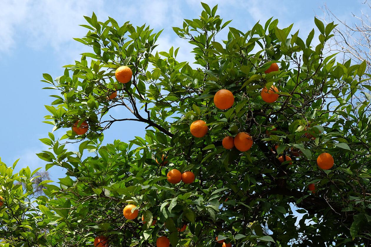 Fragrant orange trees in the Real Alcázar gardens