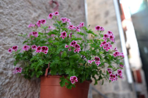Colourful flowers in Kotor