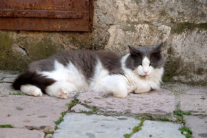 A very contented-looking cat in Kotor's old town