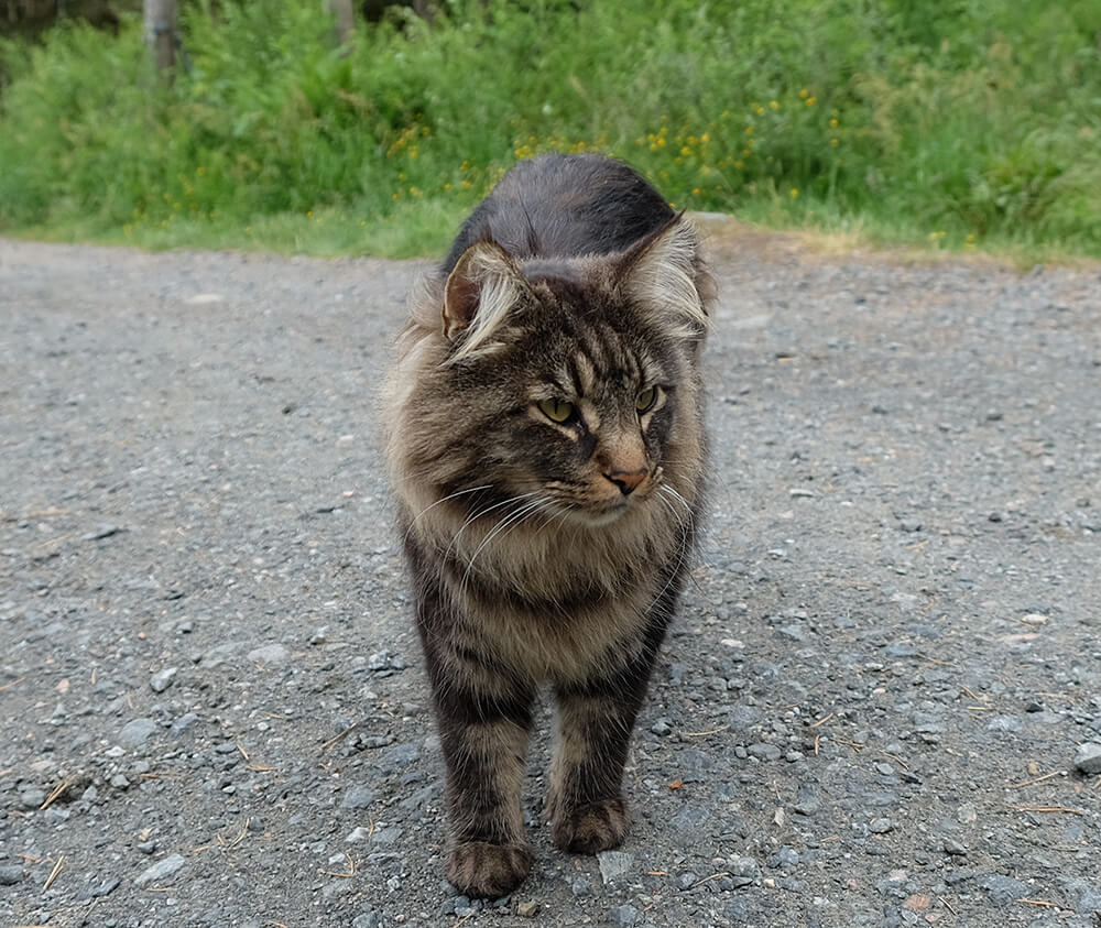 A Norwegian Forest Cat, in a Norwegian forest