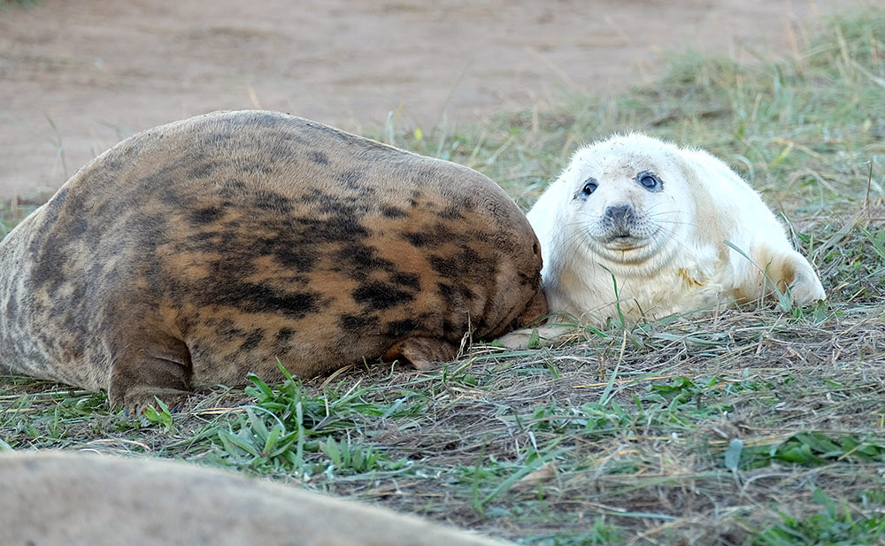 A baby seal and its mother at Donna Nook seal sanctuary, on the Lincolnshire coast