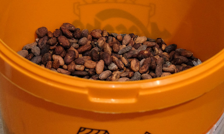 A bucket of cocoa beans, ready to be turned into chocolate.