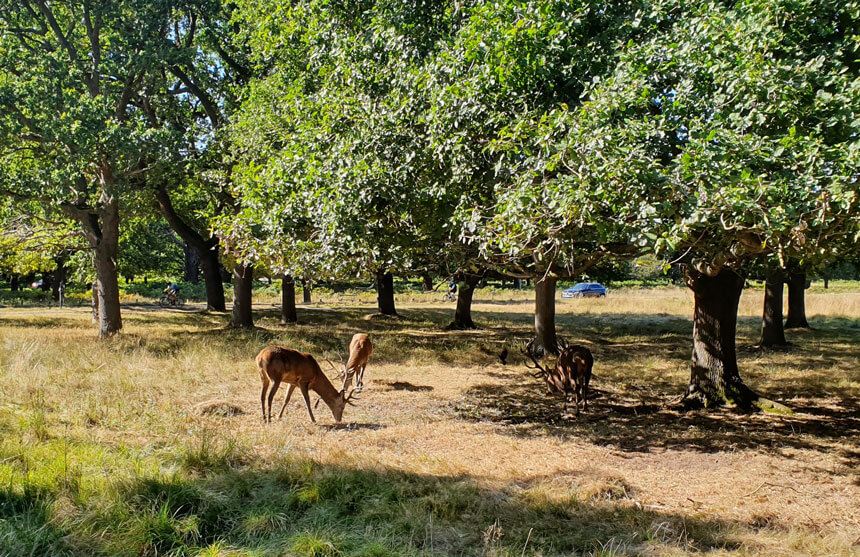 Go deer-watching and see wild animals in the heart of London