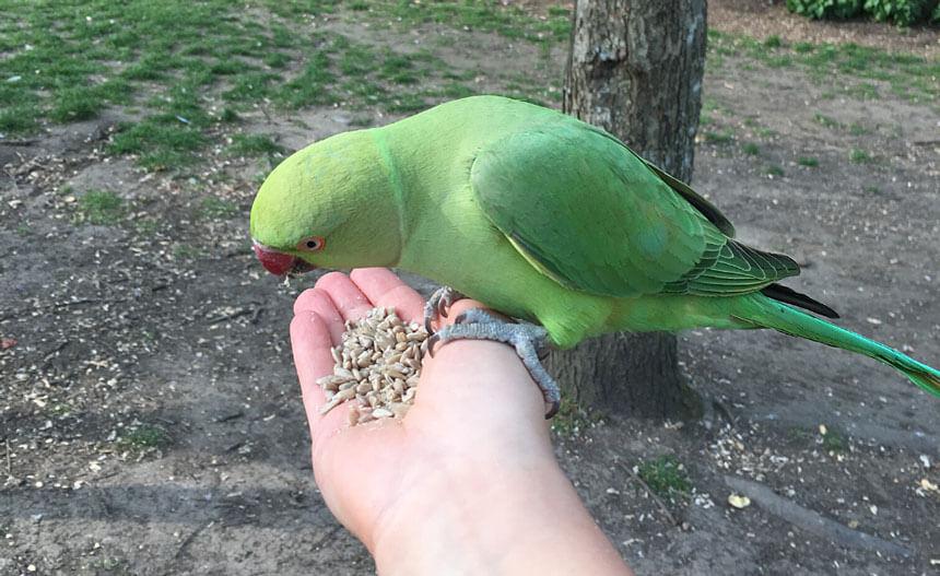 Feeding the parakeets in Kensington Gardens