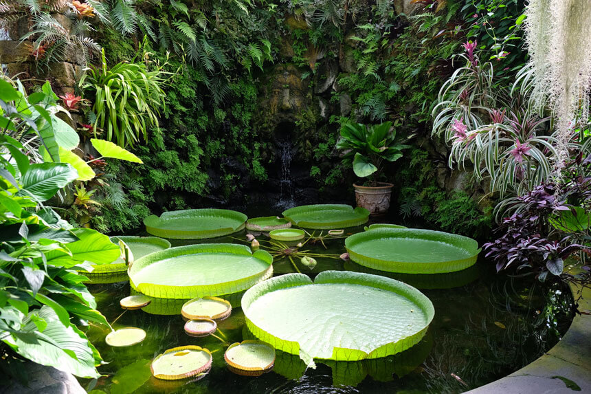 The huge Victoria Amazonica lily pads in the Victoria House. They can grow much larger in the wild!